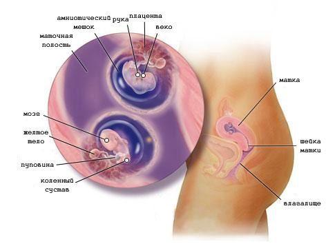 Беременность двойней на 7 неделе (фото)