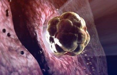 Сколько живет яйцеклетка после овуляции
